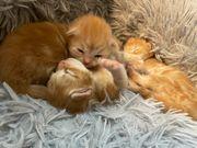 3 Maine Coon Perser Kitten