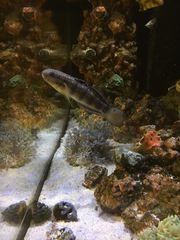 Bagger-Grundel Amblygobius Phalaeaa