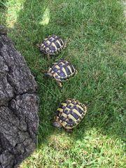 Griechische Landschildkröten Nachzucht 2020