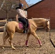 Andalusier Palomino 3 Jahre alt