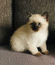 Noch 2 bildschöne BKH Kitten
