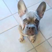 Französische Bulldogge Rüde Monate mit