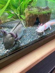 Axolotl 6 Stück zu verschenken
