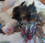 Bildschöne Yorkshire Terrier Welpen