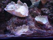 Weichkorallen