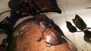 Europäische Sumpfschildkröten Nachzuchten 2019