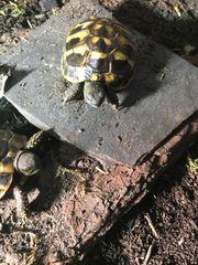 Griechische Landschildkröten von 2019