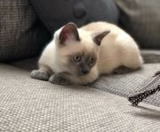 BKH Siam Kitten Kätzchen blaue