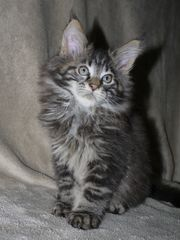 black silver cl tabby Kater