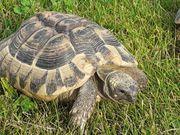 weibliche Griechische Landschildkröte erwachsen Testudo