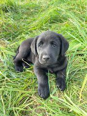 Traumhaft schöne Labradorwelpen