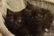 Katzenbabys BKH