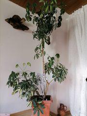 Pflanze sehr schön und groß