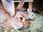 Helle Großsilber Mix Kaninchen