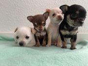 Chihuahua - Abgabebereit