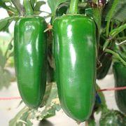 Verkaufe Jalapenosamen grün