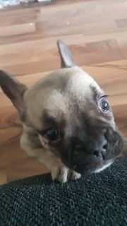 Mini Französische bulldog