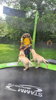 Labrador Retriever Pedigree Rude schon
