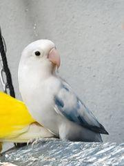 Pfirsichköpfchen Spalt blau opalin