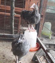 Hahn Henne Hühner - Paar von