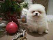 Wunderschönen zwergspitz Pomeranian