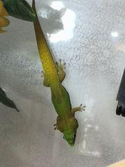 Goldstaubtaggecko 0 0 1 mit