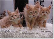 Maine Coon Kitten suchen neue