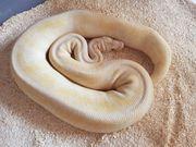 Python Regius 1 0 Super