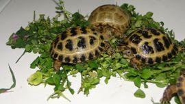 Reptilien, Terraristik - Vierzehen Landschildkröten Russische Landschildkröten von
