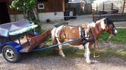 Shetty Pony Gig