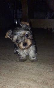 Mini Yorkshire Terrier männlich