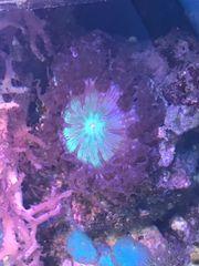 Meerwasser Sandanemone