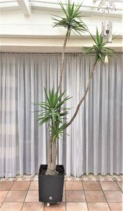 Yukkapalme 300 cm