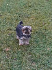 Sehr schöner Yorkshire Terrier Rüde