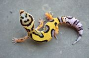 LEMMONFROST Leopardgeckos aus gesunder Hobbyzucht