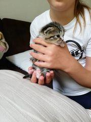 Zwei reinrassige Britischekurzhaar Kätzchen