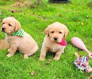 Labrador Retriever Welpen Mädchen foxred