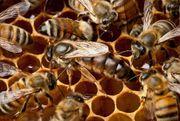 Bienvölker nach der Überwienterung zu