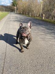 Französische Bulldogge Blue Deckrüde