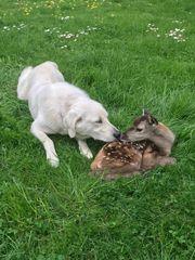 Akbas Hovawartwelpen Deutscher Haus Hofhund