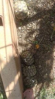 Griechische Landschildkröten aus Naturbrut