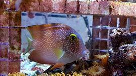 Meerwasser Goldring-Borstenzahn 10cm