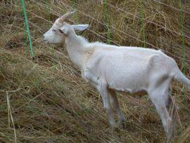 Nutztiere - weiße Milchziegen