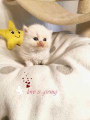 Blh Bkh Kitten aus liebevoller