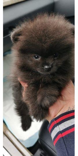 Tierbetreuung - Mini Zwergspitz Pomeranian