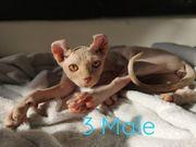Elf Sphynx