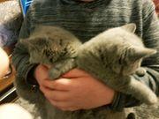 Bkh Katzenbabys noch 2 Mädchen