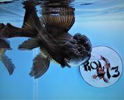 KOI 13 Anz 87 2020 Goldfisch -