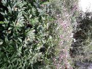Pflanzen johannisbeeren Stauden Anemonen