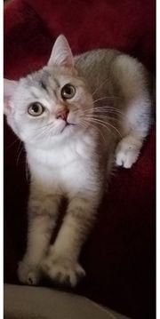 BKH REINRASSIGE Kitten männl
